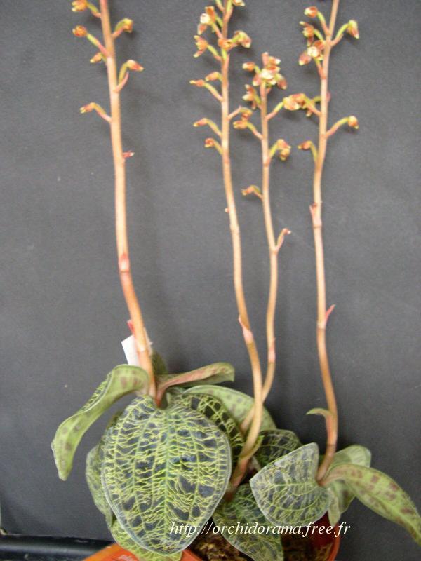 http://orchidorama.free.fr/04-juillet-d%E9cembre/Macodes%20petola04-3.JPG